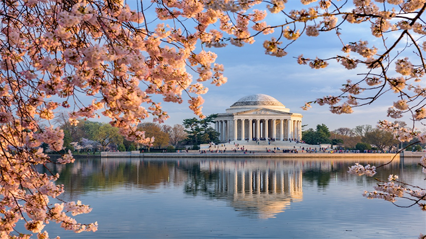 Cherry Blossoms in DC.png