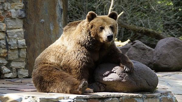 bear-424403_1920-1